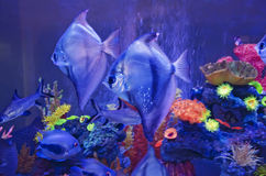 Exotic fish in aquarium Stock Photography