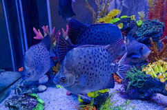 Exotic fish in aquarium Stock Photos