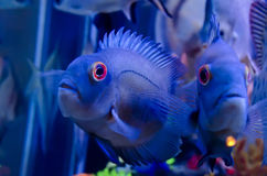 Exotic fish in aquarium Stock Images