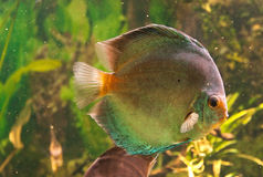 Exotic fish aquarium Stock Images