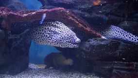 Moray eel in the aquarium. Exotic fish in aquarium surprise visitors by its wide variety. Underwater world is rich in sea habitants of bright colorations and stock video