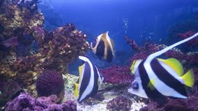 Exotic fish in the aquarium. Exotic fish in aquarium surprise visitors by its wide variety. Underwater world is rich in sea habitants of bright colorations and stock footage