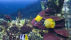 Exotic fish in the aquarium. Exotic fish in aquarium surprise visitors by its wide variety. Underwater world is rich in sea habitants of bright colorations and stock video