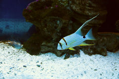Exotic fish aquarium Royalty Free Stock Photos