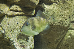 Exotic fish with blue eye royalty free stock photos