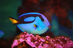 Exotic fish blue flag or surgeon (lat. Paracanthurus hepatus). Marine (aquarium) tropical ray-finned fishes of the family chirurgove. The only member of the Royalty Free Stock Photos