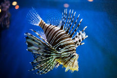 Exotic fish. Closeup of an exotic fish swimming in aquarium Royalty Free Stock Photo