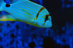 Exotic fish closeup Royalty Free Stock Photography