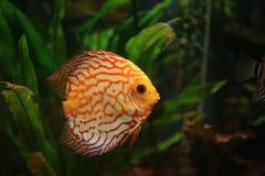 Exotic fish Stock Image
