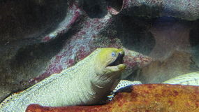 Exotic fish (Laced moray)in the St. Petersburg Oceanarium Royalty Free Stock Images