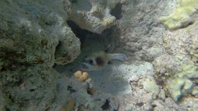 Exotic Fish Living in Coral Reef. Slow motion shot of an exotic fish swimming in coral reef stock footage