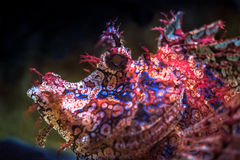 Exotic fish,scorpionfish,close up Stock Photos