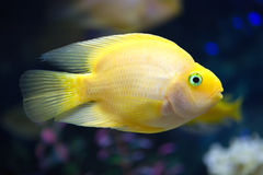 Exotic fish swims in deep blue water Royalty Free Stock Photography