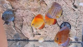 Exotic fish - Symphysodon Discus. Beautiful exotic fish Symphysodon Discus in aquarium stock video footage