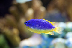 Exotic fish in tank. View of an exotic fish in aquarium tank stock photo