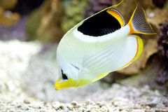 Exotic fish in tank. View of an exotic fish in aquarium tank royalty free stock photography