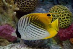 Exotic fish in tank. View of an exotic fish in aquarium tank royalty free stock photo
