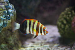 Exotic fish in tank. View of an exotic fish in aquarium tank stock image