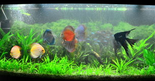 Exotic fish tank - amazonian aquarium Royalty Free Stock Images