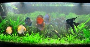 Exotic fish tank - amazonian aquarium royalty free stock images