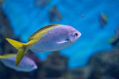 Exotic fish. In their natural habitat Royalty Free Stock Images