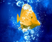 Exotic fish in water Stock Photography