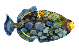 Exotic fish. Watercolor clown triggerfish. Hand painted illustration of tropical fish Royalty Free Stock Photos