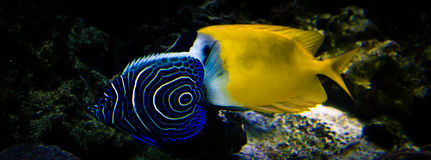 Exotic fishes. Two butterfly tropical fishes swimming in an aquarium Stock Photography