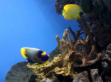 Exotic fishes. Swim in aquarium Stock Image
