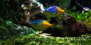 Exotic fishes in aquarium stock images