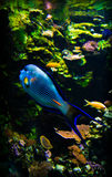 Exotic fishes in aquarium Stock Image