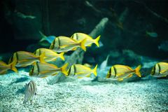 Exotic fishes in an aquarium Royalty Free Stock Photo