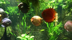 Exotic fishes. Aquarium with  discus, exotic fishes. Symphysodon, colloquially known as discus, is a genus of cichlids native to the Amazon river basin in South stock footage