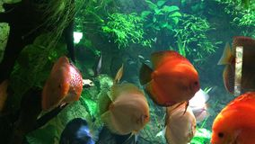 Exotic fishes. Aquarium with  discus, exotic fishes. Symphysodon, colloquially known as discus, is a genus of cichlids native to the Amazon river basin in South stock video