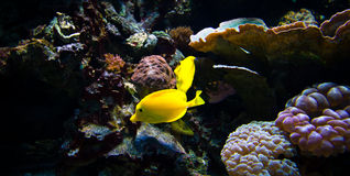 Exotic fishes in the coral reef. Two yellow butterfly fishes swimming in the coral reef Stock Photos