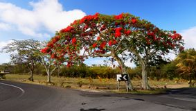 Exotic Flamboyant Tree, Flame Tree, Mauritius royalty free stock photo