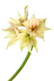 Exotic flower Royalty Free Stock Photography