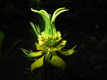 Exotic Flower. Yellow exotic flower on a dark background Stock Photos