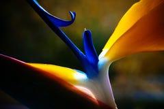 Exotic flower. Exotic strelicium flower closeup macro Stock Photos