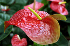 Exotic flower Anthurium Royalty Free Stock Photography