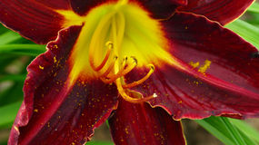 Exotic flower background. A background of the closeup of an exotic yellow and crimson colored flower stock images