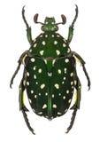 Exotic flower beetle Protaetia niveoguttata from Laos Royalty Free Stock Photography