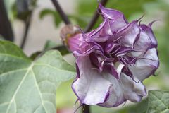 Exotic Flower Bud Datura Royalty Free Stock Image