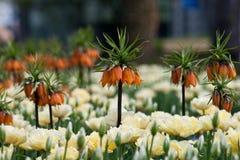 Exotic flower Frittilaria Stock Photography