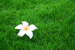 Exotic Flower on Grass Royalty Free Stock Photography