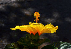 Exotic flower. Hibiscus exotic flower on dark background Royalty Free Stock Images