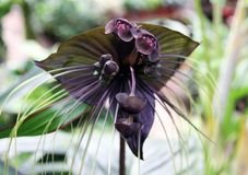 Exotic Flower Tacca Chantrieri Stock Image