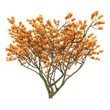 Exotic flower tree isolated. Stock Image