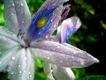 Exotic Flower with Waterdrops. A purple tropical flower with waterdrops on it. Macro Shot Royalty Free Stock Image