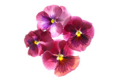 Exotic Flowers. Exotic pink flowers isolated on a white background Royalty Free Stock Photos